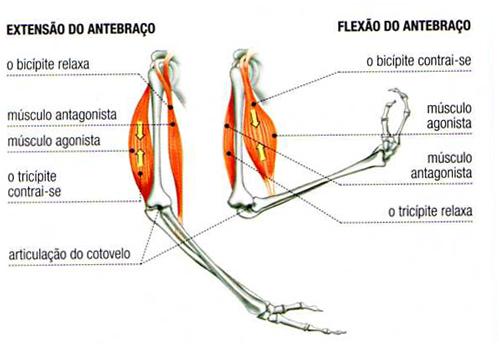 Sistema muscular - Antebraço